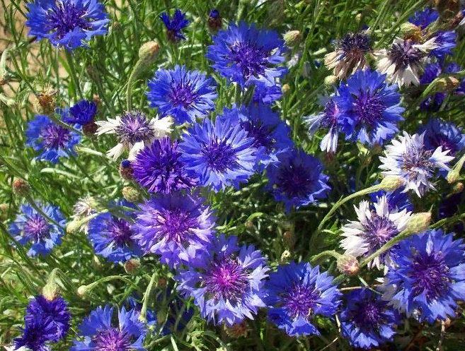 цветут васильки - полезные свойства и применение в народной медицине
