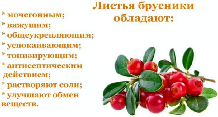 листья брусники - лечебные свойства и применение